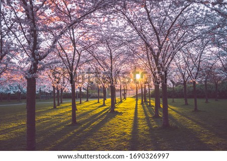 Pink japanese cherry blossom garden in Amsterdam in full bloom at the sunset or sunrise with sun rays coming through the trees and green grass. Bloesempark - Amsterdamse Bos  Stockfoto ©