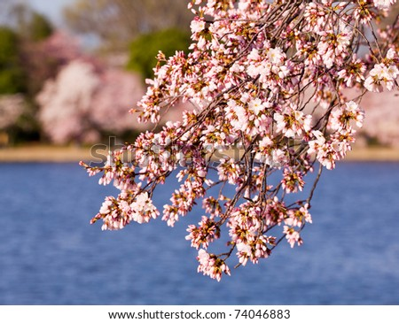 Pink Japanese Cherry blossoms on branches overhanging the Tidal Basin in Washington DC