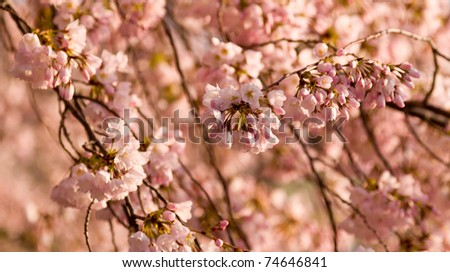 japanese cherry tree branch. japanese cherry tree branch.