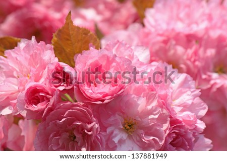 pink japanese cherry tree blossom