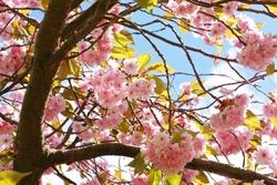Pink Japanese cherry tree blossom against blue sky