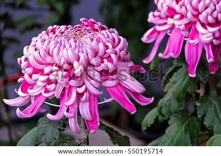 Pink japanese chrysanthemum Foto stock ©