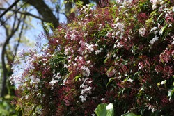 Pink jasmine flowers (Jasminum polyanthum)