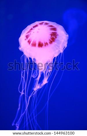 Pink jellyfish in deep blue sea