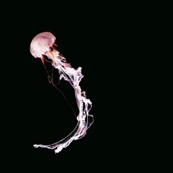 Pink jellyfish on a black abstract background. Minimal art design