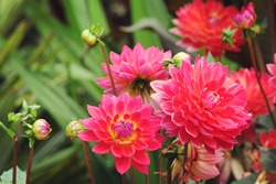 Pink 'Kilburn Rose' decorative dahlia flowers in bloom during late summer