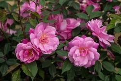 Pink knock out roses on tree  taken in Lung Van, Hoa Binh, Viet Nam