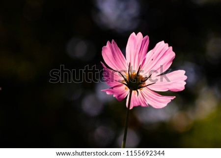 Photo of  pink kosmos flower in the backlight