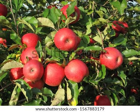 Pink Lady apples on a branch, Caldaro sulla Strada del Vino, Kaltern an der Weinstrasse, Alto Adige, Italy
