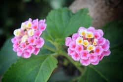 Pink Lantana flowers are species of Verbena, also known as West indian lantana, Yellow sage, Spanish flag, Umbelanterna, it's botanical name is Lantana camara.