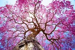 Pink lapacho tree at sun´s back light. Transpantaneira road, Pantanal Matogrossense. POCONE. MATO GROSSO, BRAZIL.