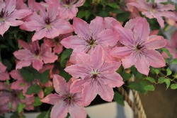 Pink large-flowered Clematis Sarah Elizabeth blooms on an exhibition in May 2019