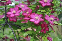 Pink large-flowered Clematis Ville de Lyon blooms on an obelisk in a garden in July 2016