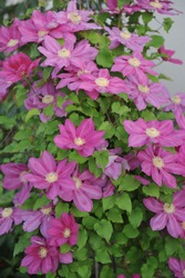 Pink large-flowered Clematis Vino floweres in a garden in May 2017