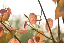pink leaf of bodhi tree and put forth leave-buds with beautiful bokeh background in sunshine day