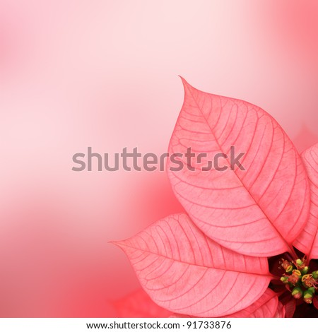 Pink leaf (Poinsettia) on pink background