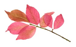 pink leaves of Euonymus shrub on branch in autumn isolated on white background