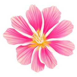 Pink Lewisia Flower handdrawn in a white background.