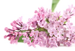 Pink lilac on white background