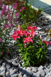 Pink lilies  bush and purple loosestrife flowers in stone garden. Sublime plant on grey stones.