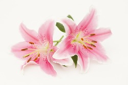 Pink lilies (lily / Lilium)  on white background