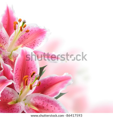 Pink lilies on a white background #86417593