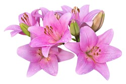 pink lilies on white background