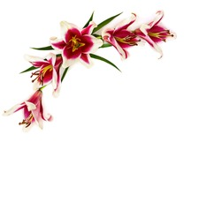 Pink lilies (Trumpet lilies) on a white background with space for text