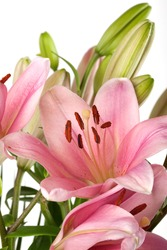 Pink Lilies with dew drops isolated on white studio shot