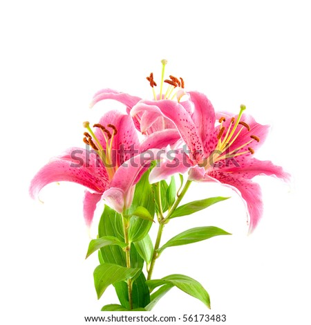 Pink liliy isolated on white background