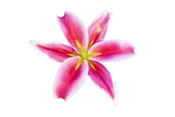 Pink Lilly flower is blooming isolated on white background with clipping path