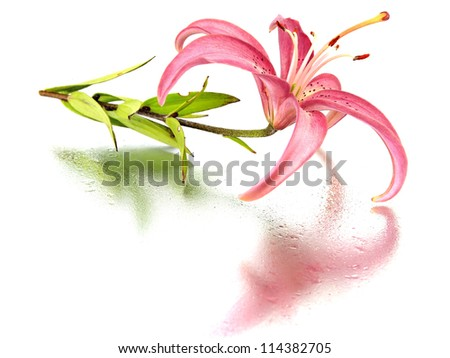 pink lilly flower on a white background with water drops
