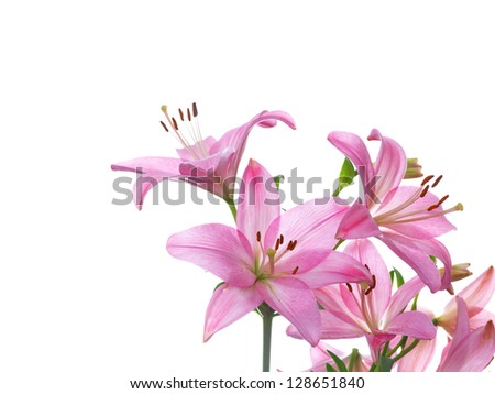Pink lily