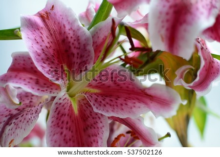 Pink Lily background on white Stock fotó ©