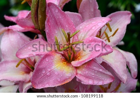 Pink Lily Dripping Wet