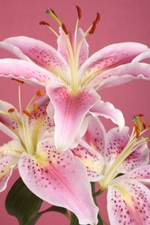 Pink lily flower over pink background