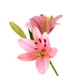 Pink lily flowers on a white background