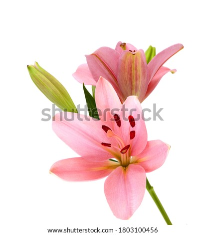Pink lily flowers on a white background  Foto stock ©