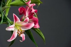 Pink lily flowers on black background with with free space for your text. selective focus