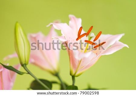 pink lily flowers on green background