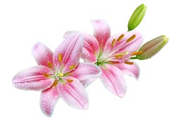 Pink lily flowers with water droplets isolated on white background