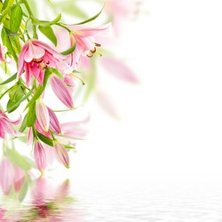 Pink lily isolated on white background with reflection in water