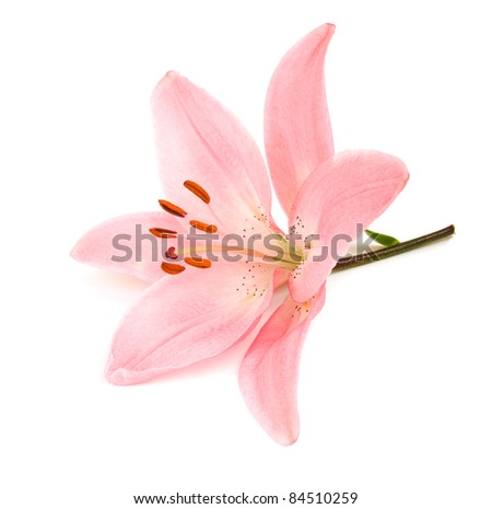 Pink lily on a white background .