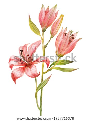 Pink lily. Watercolor illustration of a spring flower on a white background. A blooming garden. A symbol of spring. Foto stock ©