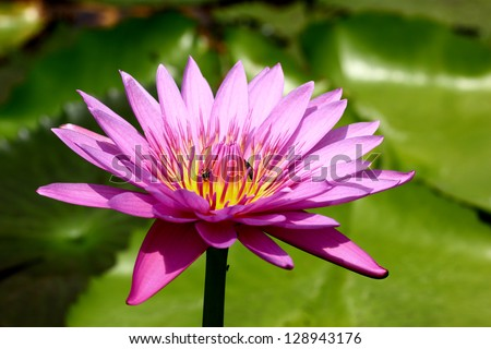 Pink lotus blooming in the pond
