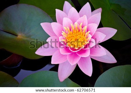 pink lotus blooming in the tropical garden