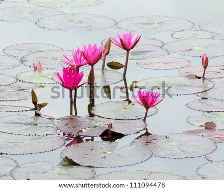 pink lotus blossom or water lily flower blooming on pond