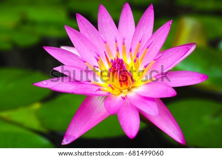 Pink Lotus Blossom With Leaves Ez Canvas