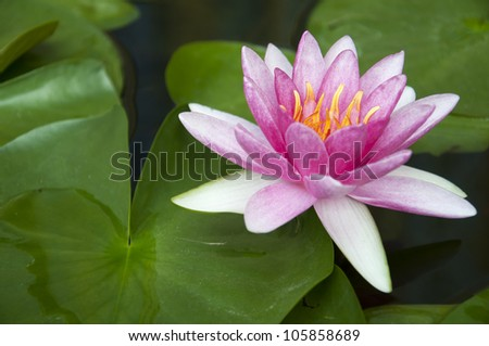 Pink lotus blossoms or water lily flowers blooming