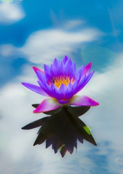 Pink lotus blossoms or water lily flowers blooming on pond with reflection of blue sky